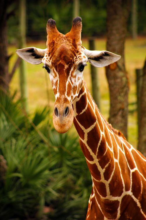 Earthandanimals Masai Giraffe This Is My Own Photography #photos, #bestofpinterest, #greatshots, https://facebook.com/apps/application.php?id=106186096099420