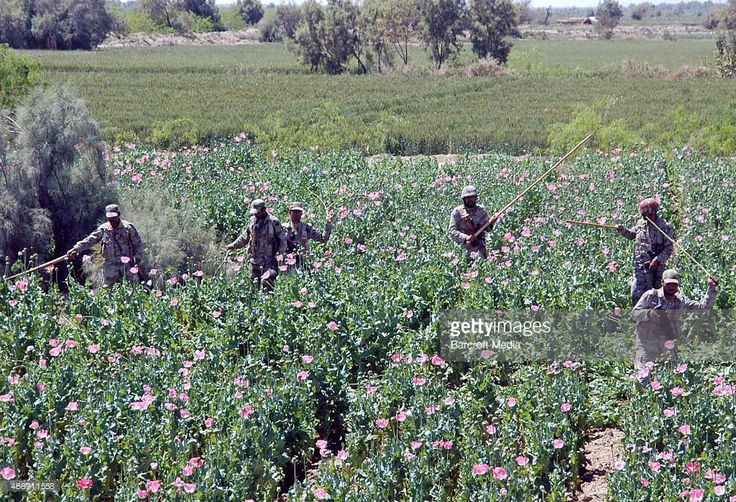 Security officials destroy opium poppy in a field during a campaign on April 07, 2015 in Duki, Pakistan. Frontier corps and ANF (Anti-Narcotics Force) started the operation against the opium poppy fields of Duki District in Balochistan. Asianet-Pakistan / Barcroft Media