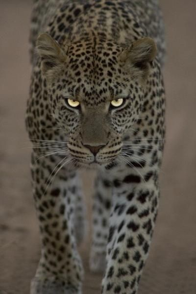 """Forgotten Nobility"" - #leopard #glowing #eyes #cat #cats #big #wild #wildlife #animal #animals #leopards #feline #spotted tå√"