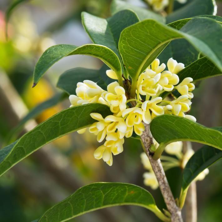 Die besten 25+ Olivenbaum pflege Ideen auf Pinterest Olivenbaum - tipps pflege pflanzen wintergarten
