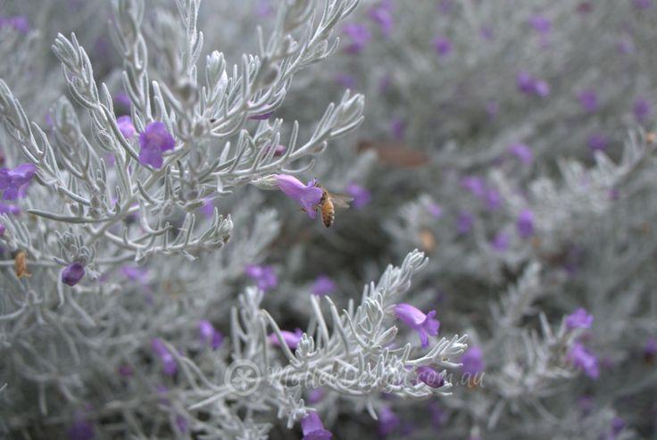 10 best images about australian native plants on pinterest