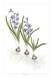 Roman Hyacinth drawing by Ann Swan. Welcome to my IndoorGardening page for more photos and information about bulbs http://www.facebook.com/flowerindoorgardening