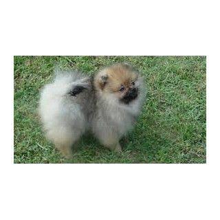 Pomeranian breeder San Diego 21950