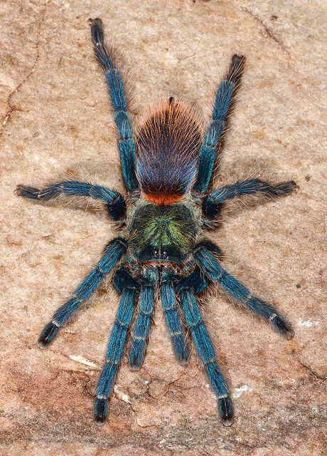 Oligoxystre diamantinensis est endémique du Minas Gerais au Brésil.  Cette mygale se caractérise par le bleu métallique de sa carapace, de ses chélicère, de son abdomen et de ses pattes.