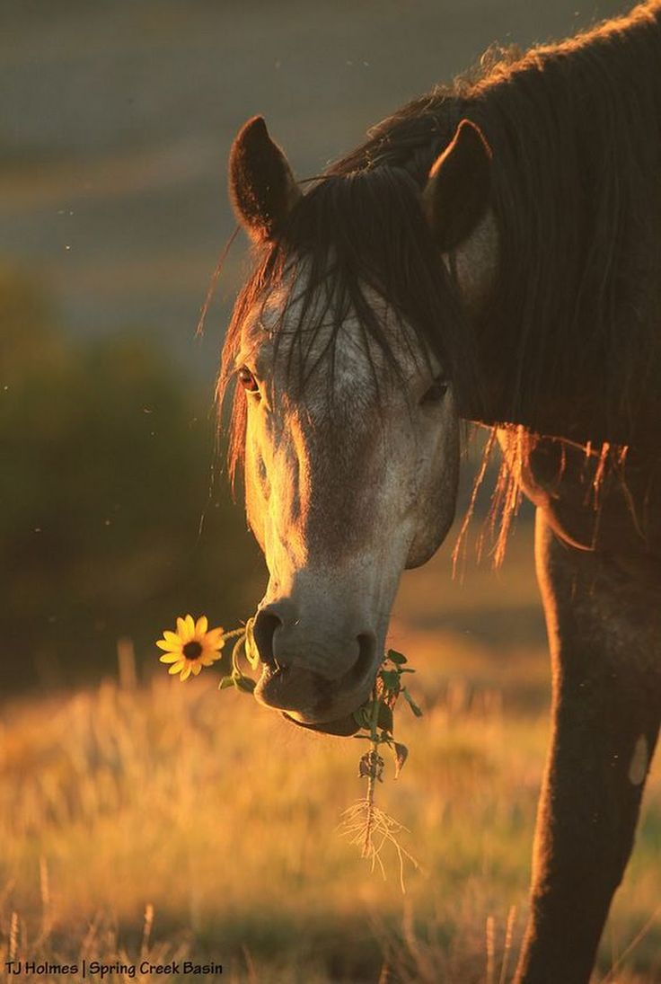 Horse in the sunset with sunflower. – Madita