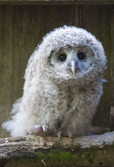 Wide-eyed Owl Chicks aka the owl with a sweater XD