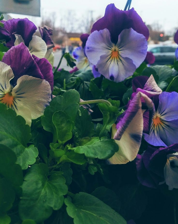 Pansies on a rainy morning...a pleasant way to start the day
