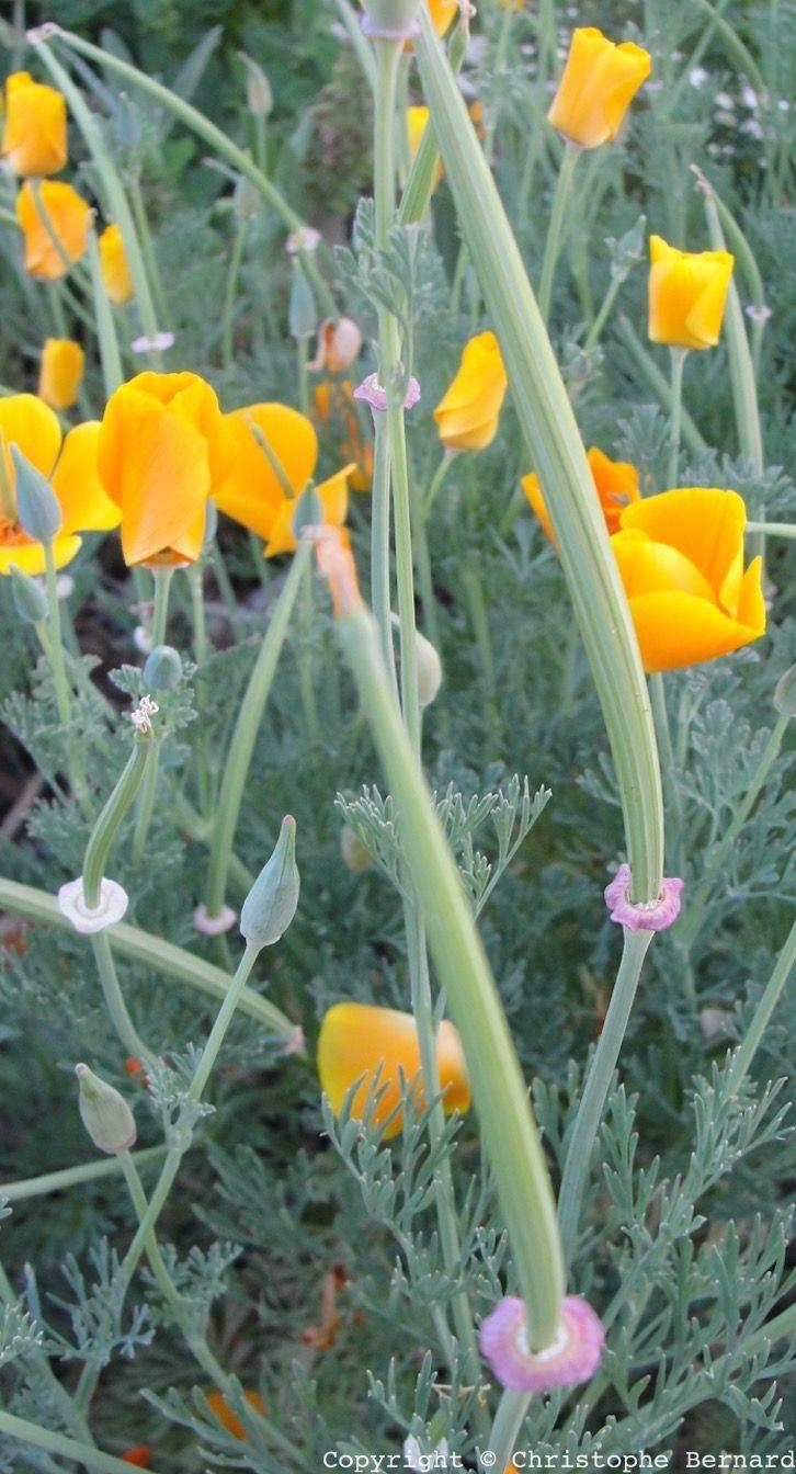 Belle, facile à cultiver, apaise les nuits agitées : l'escholtzia de la graine à la tasse.