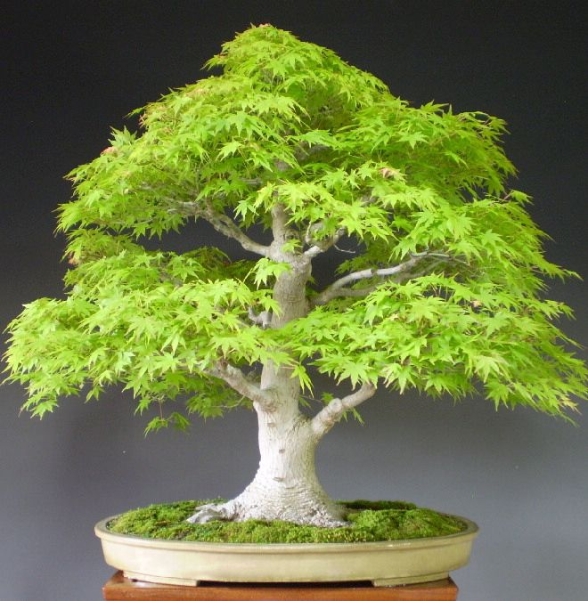Maple Bonsai, Formal Upright style (Chokkan).                                                                                                                                                                                 More
