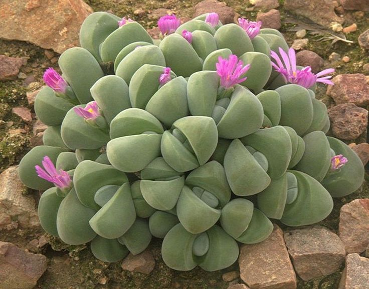 1304 best cactus e suculentas images on pinterest for Tipos de cactus y suculentas