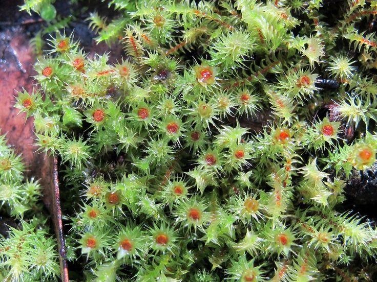 65 best indigenous plants of castlemaine  victoria   u0026 surrounds images on pinterest