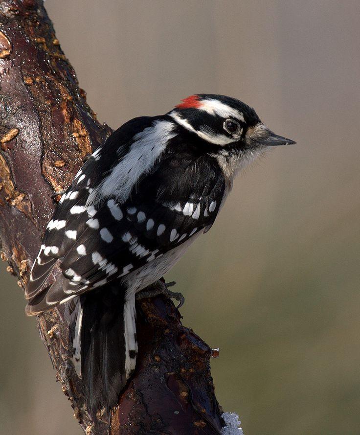 Downey Woodpecker - Jeff Graham