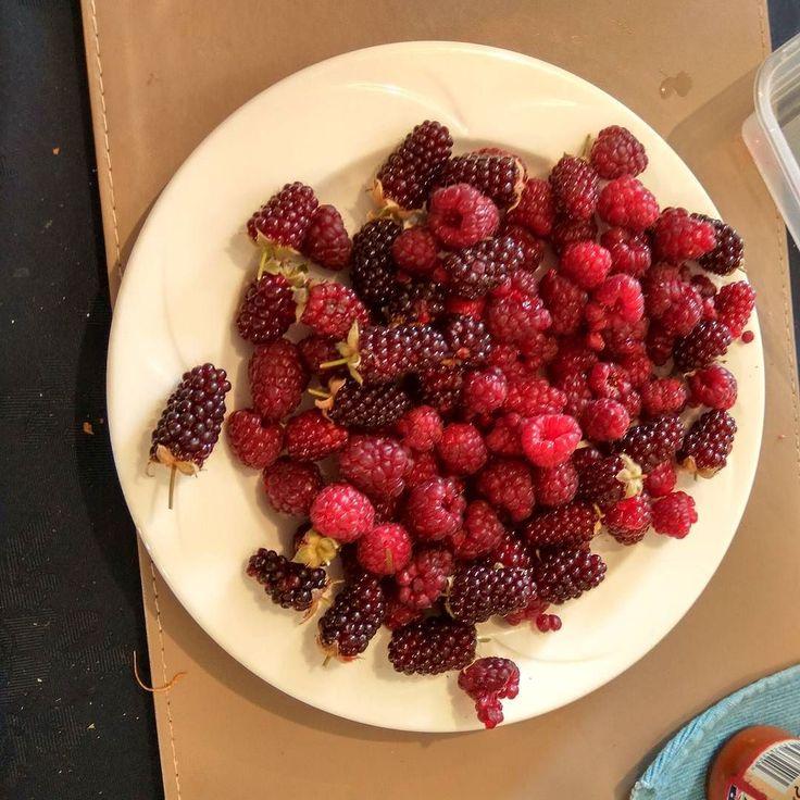 #home #garden #produce of the day #nz #christchurch #raspberry #boysnberries