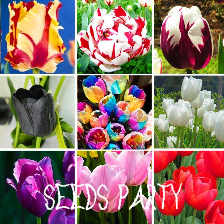 Big Sale, Wholesale 10pcs/pack Tulip seeds Flowers Wedding Home Decorative Flowers Home Decoration Tulip Flower,#MMP1WF #clothing,#shoes,#jewelry,#women,#men,#hats,#watches,#belts,#fashion,#style