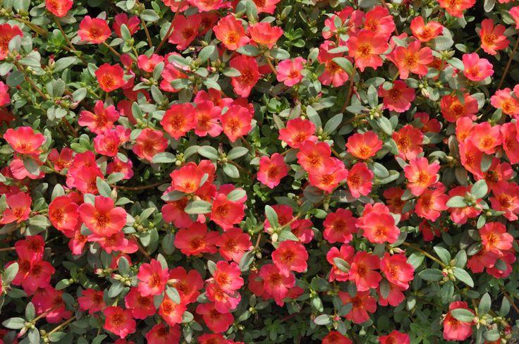Portulaca oleracea 'Pazazz™ Red Flare' (Moss Rose)