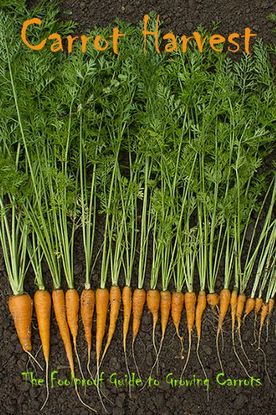 The Foolproof Guide to Growing Carrots Choosing the right carrot for your garden, When to plant carrots, Preparing soil for growing carrots,How to plant carrot seeds, Thinning carrot seedlings, Harvesting carrots.