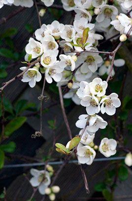 RHS Plant Selector Chaenomeles speciosa 'Nivalis' / RHS Gardening. H 1.5 - 2.5m. Patrick shade, North facing