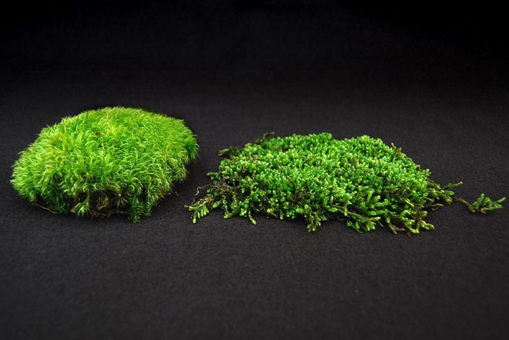 All Mosses Can Be Classified As 2 Types Acrocarpous And