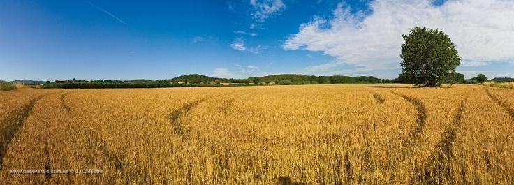Camps de blat a Vulpellac. Forallac. Baix Empordà.