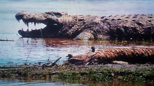 Gustave Crocodile | The largest nile crocodile: Gustave is about 25 feet long