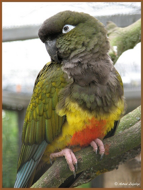 Patagonian Conure: largest of the Conure species: Patagonian region of Chile/ Argentina.  Patagonian Conures have a reputation for being exceptionally sweet-natured intelligent birds, but they can be very loud & destructive w/their chewing