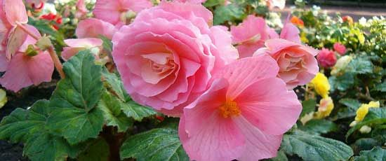 Tired of impatiens and their problems with mildew? Check out this list from Horticulture magazine of great shade annuals