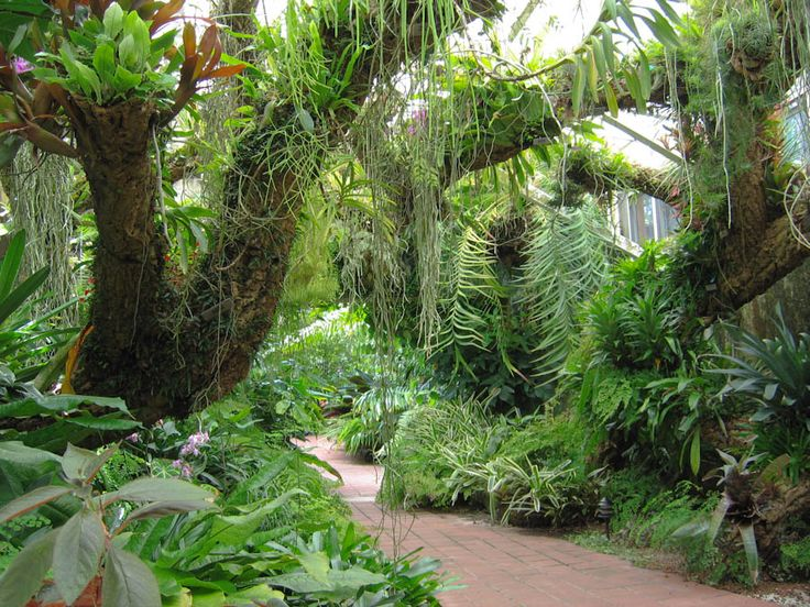 tropicalplants and trees.com | tropical plants including vines and epiphytes growing from the trees ...