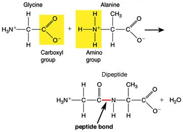 Polypeptide FormationSchools Stuff, Secret Boards, Polypeptid Formations