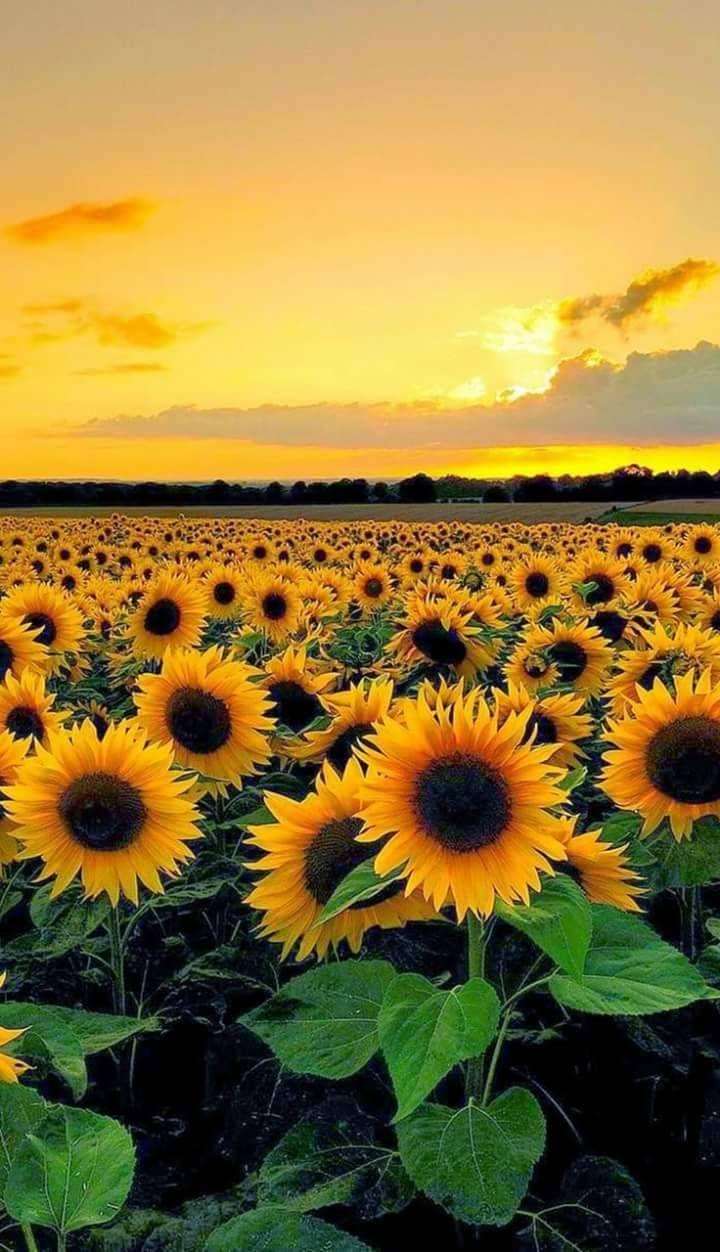 Yellow Sunflowers And Sky Sonnenblumenfelder