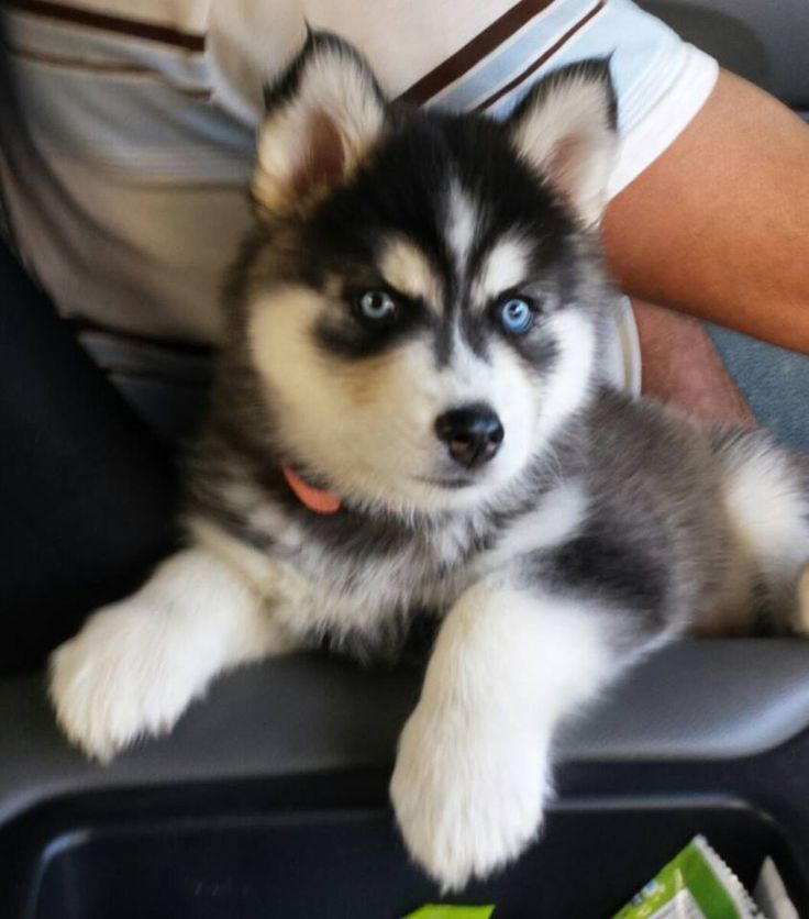Adorably fierce lookin Siberian Husky puppy dog! | Animals ...
