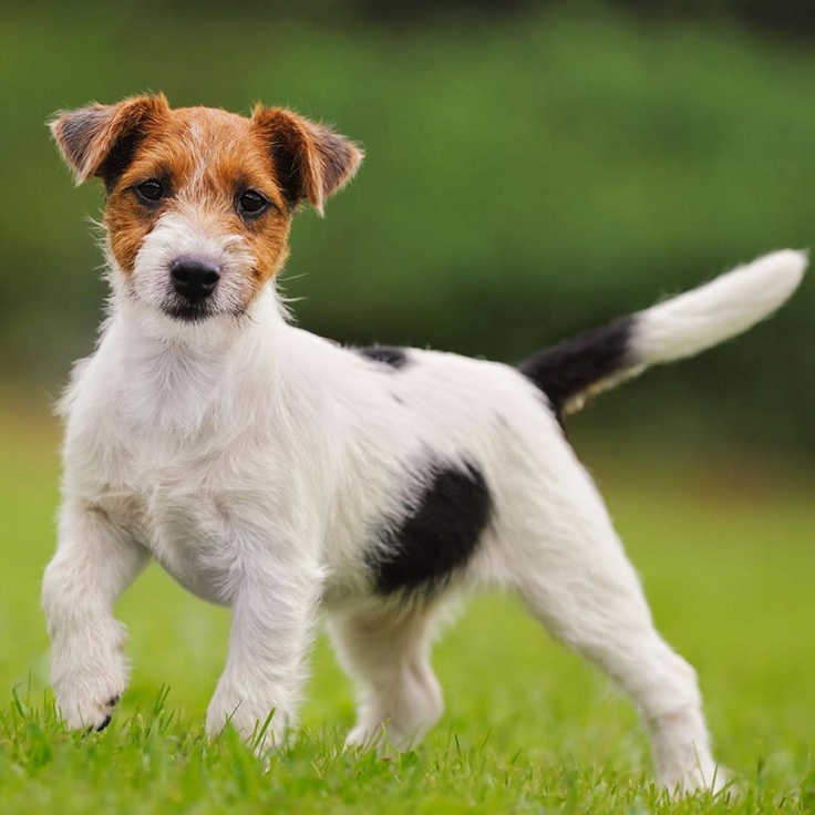 jack russell terrier hypoallergenic 17 best images about dogs on pinterest golden dachshund 5353