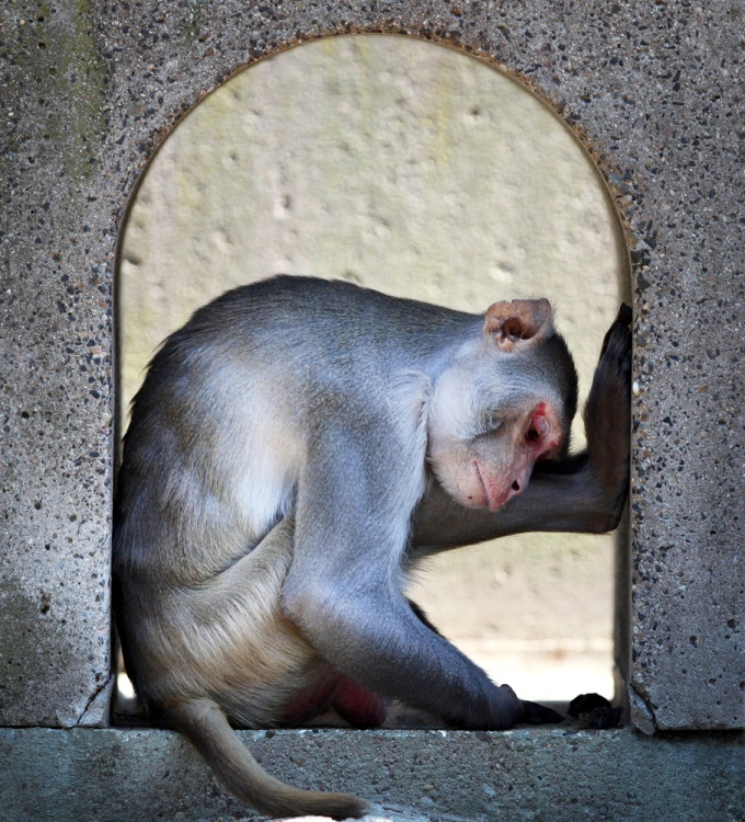 A Rhesus Monkey Relaxes In The Shade At Zoo Heidelberg Germany On July