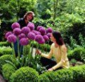 30pcs Purple Giant Allium Giganteum Seeds 'Globemaster' - Garden Plant - Beautiful Flower Seeds