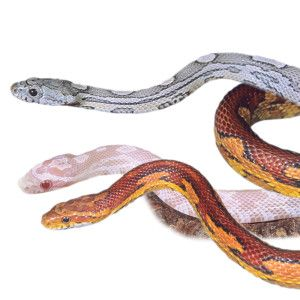 how to catch a corn snake