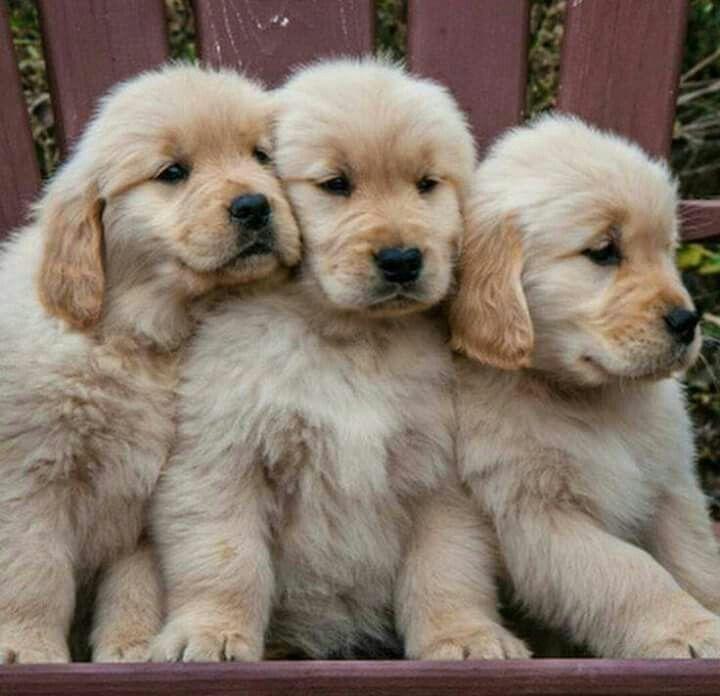 Gotta luv Goldens...puppies are so cute.