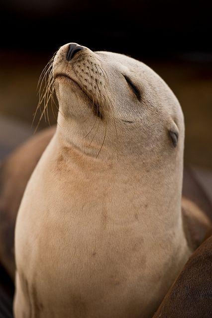 animalgazing: California Sea Lion by geoffoddie