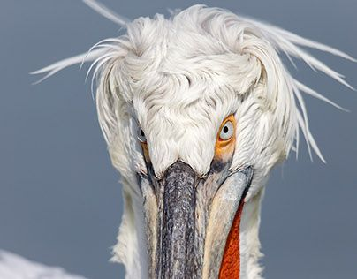 "Check out new work on my @Behance portfolio: ""Dalmatian Pelicans (Pelicans crispus)"" http://be.net/gallery/49405643/Dalmatian-Pelicans-(Pelicans-crispus)"
