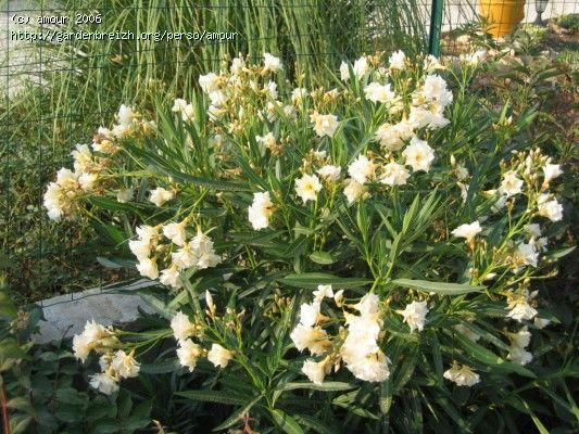 Nerium Oleander Jaune à fleurs doubles