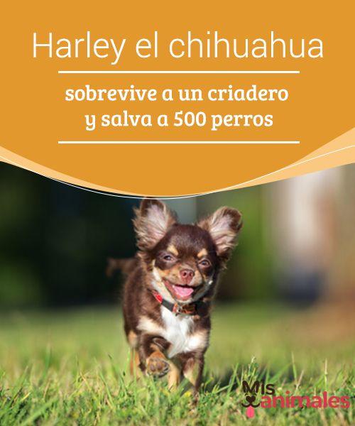 #Harley el #chihuahua sobrevive a un criadero y salva a 500 perros  En varios de nuestros #artículos te hemos hecho la misma recomendación: No compres, adopta. Y es como ya te explicamos, las #condiciones en criaderos de #perros son totalmente insalubres y perjudiciales para los animales.