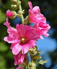 Planter des roses trémières au printemps
