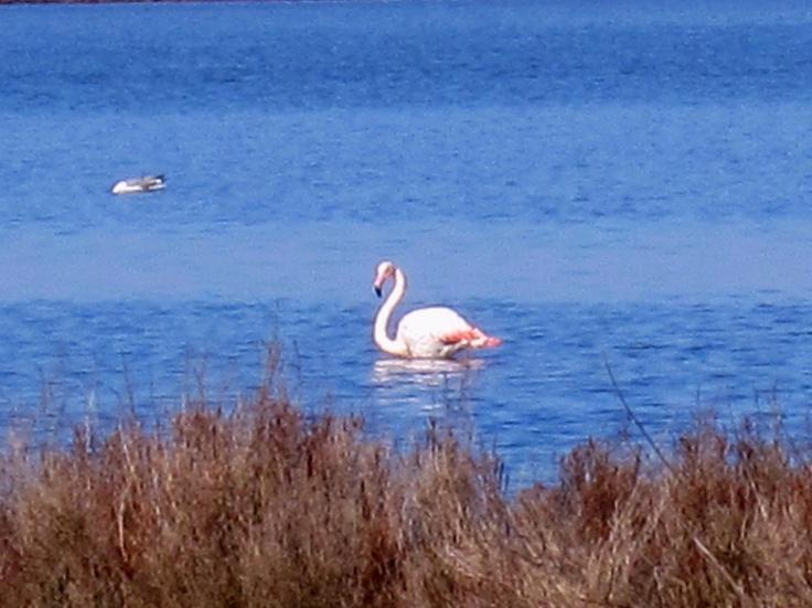 Laguna di Orbetello- Fenicottero rosa