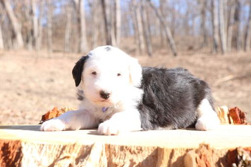 Litter of 6 Sheepadoodle puppies for sale in CHILLICOTHE, MO