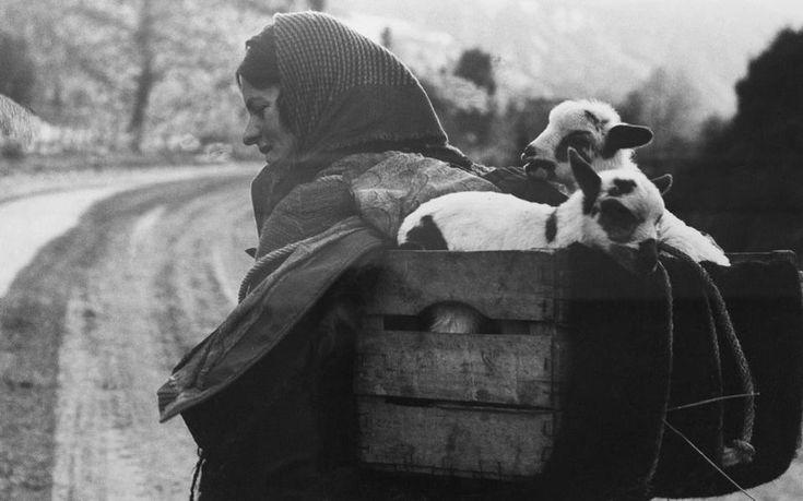"""Μεταφορά νεογέννητων αρνιών (Βουργαρέλι Άρτας, 1960) – """"Στην Ήπειρο είναι οι πιο αληθινές φωτογραφίες μου. Εκεί ξέρω το """"μέσα"""" των ανθρώπων. Αυτό επιχειρώ να φωτογραφίσω. Στα άλλα μέρη είμαι λίγο τουρίστας φωτογράφος. Καταγράφω εικόνες."""" (Κώστας Μπαλάφας)"""
