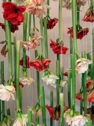 Amaryllis hanging from the ceiling #flowers #interiors