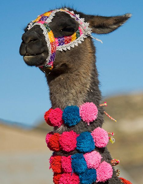 I think I have found our pet Llama @Stephanie Francis Tweedale He even comes decorated!!