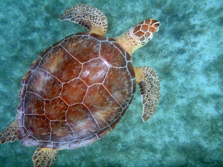 62 Best Turtles Images On Pinterest Turtles Amphibians