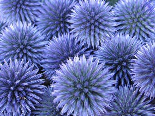 Thistles by Petits poemes en prose on Flickr. Purple/blue