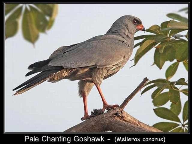 chanting goshawk