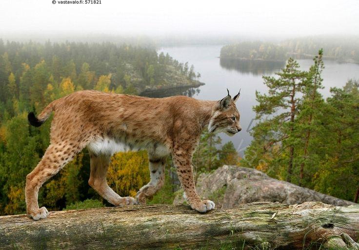 Ilves - Lynx lynx kissaeläin kissa eläin nisäkäs peto ilves maisema kelo runko sumu erämaa metsä järvi