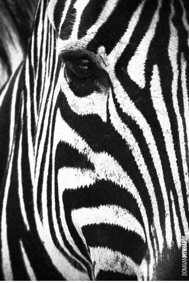 158 besten Zebra Drinking Water Bilder auf Pinterest | Zebras ...